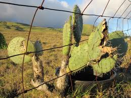 Storm-weathered cacti