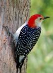 Red-bellied_Woodpecker_on_tree