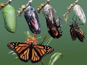 metamorphosis-of-butterflies (1)