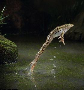 frog leopard frog